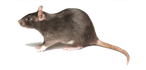 可分家栖鼠和野栖鼠两大类,在城镇常见的老鼠主要有褐家鼠,黄胸鼠,小